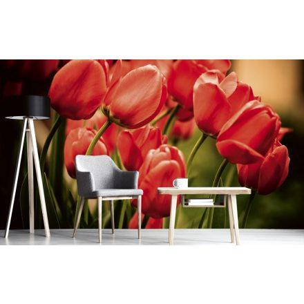 Piros tulipánok, poszter tapéta 375*250 cm