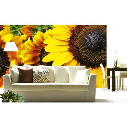 Napraforgó virágok közelről, poszter tapéta 375*250 cm