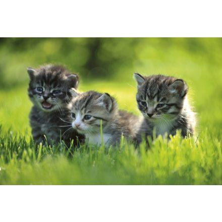 Kölyök cicák, poszter tapéta 375*250 cm
