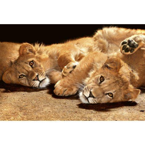 Pihenő oroszlánok, poszter tapéta 375*250 cm