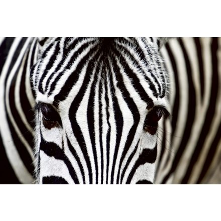 Zebra, poszter tapéta 375*250 cm