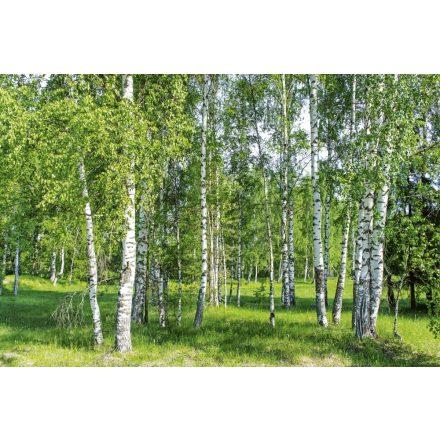 Zöldellő nyírfa erdő, poszter tapéta 375*250 cm